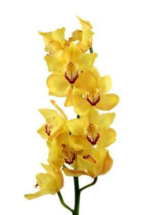 cymbidium orchid yellow cymbidium orchid yellow mightylinksfo