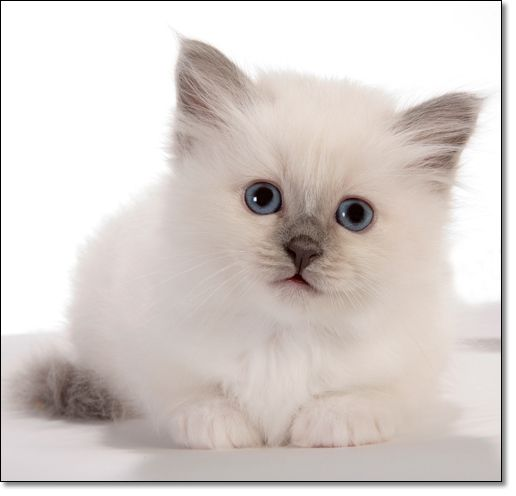 Security Check Required Birman Kittens Pretty Cats Kittens Cutest