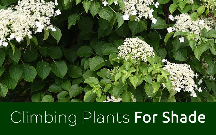the best climbing plants for shade
