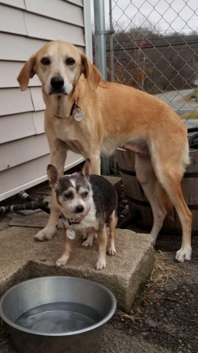 Adopt Bertha (and Harley) on Yellow labrador retriever