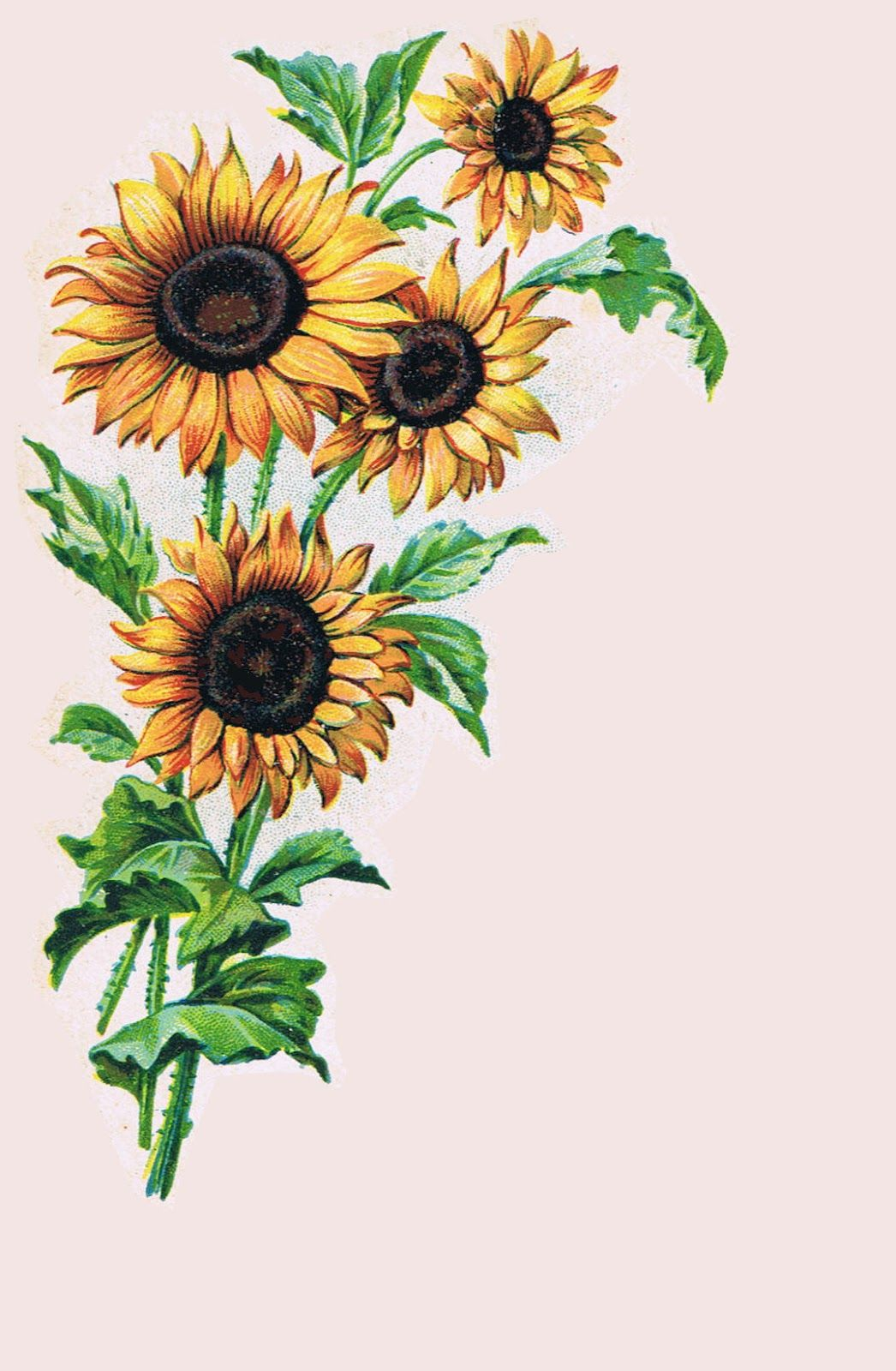 Sunflowers from antique postcard lilacnlavenderspot