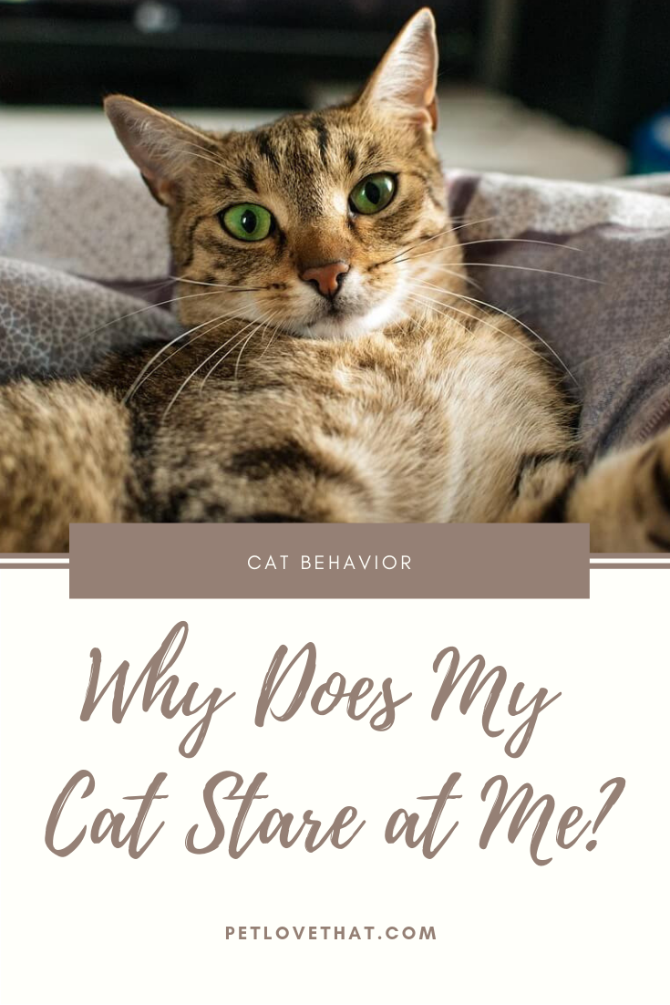 When Your Beloved Cat Sits At Your Feet Staring Up At You With Those Big Cat Like Eyes It Eventually Becomes A Staring Contest Cats Cat Language Cat Behavior