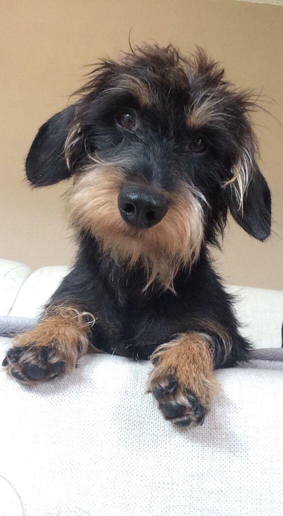 Dachshund Friendly And Curious Teckel Hond Ruwharige Teckel