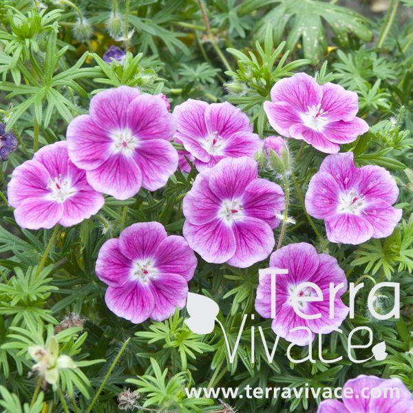 Le geranium sanguineum 39 elke 39 est une plante vivace exceptionnelle de part sa couleur rose - Quand planter les geraniums ...