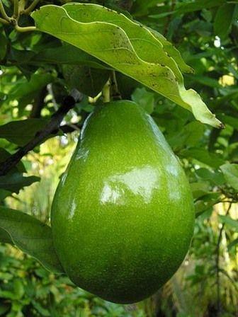 5 gute gr nde warum avocado gesund ist diy pinterest exotische fr chte avocado und obst. Black Bedroom Furniture Sets. Home Design Ideas