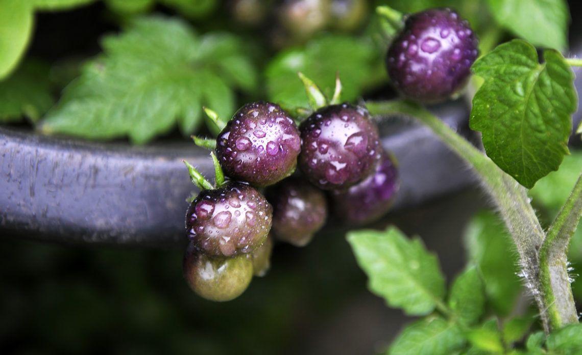 1000  ideas about tomaten pflanzen balkon on pinterest