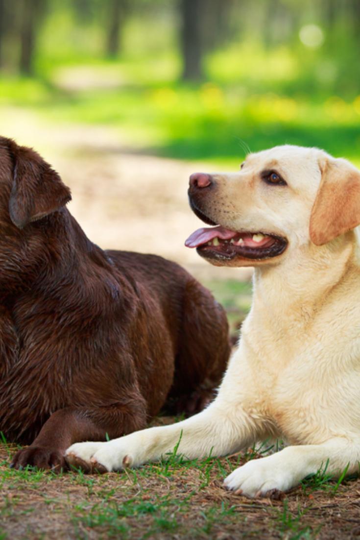 Two Labrador Retriever Dog Labradorretriever Golden Retriever Labrador Labrador Retriever Labrador Retriever Dog