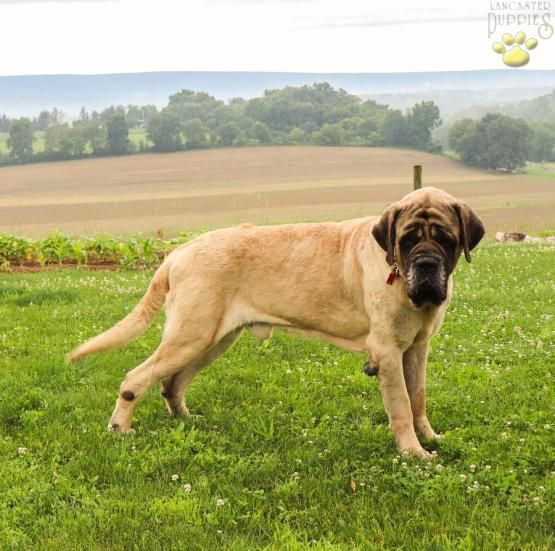 Toby English Mastiff Puppy For Sale In Lewisburg Pa Lancaster