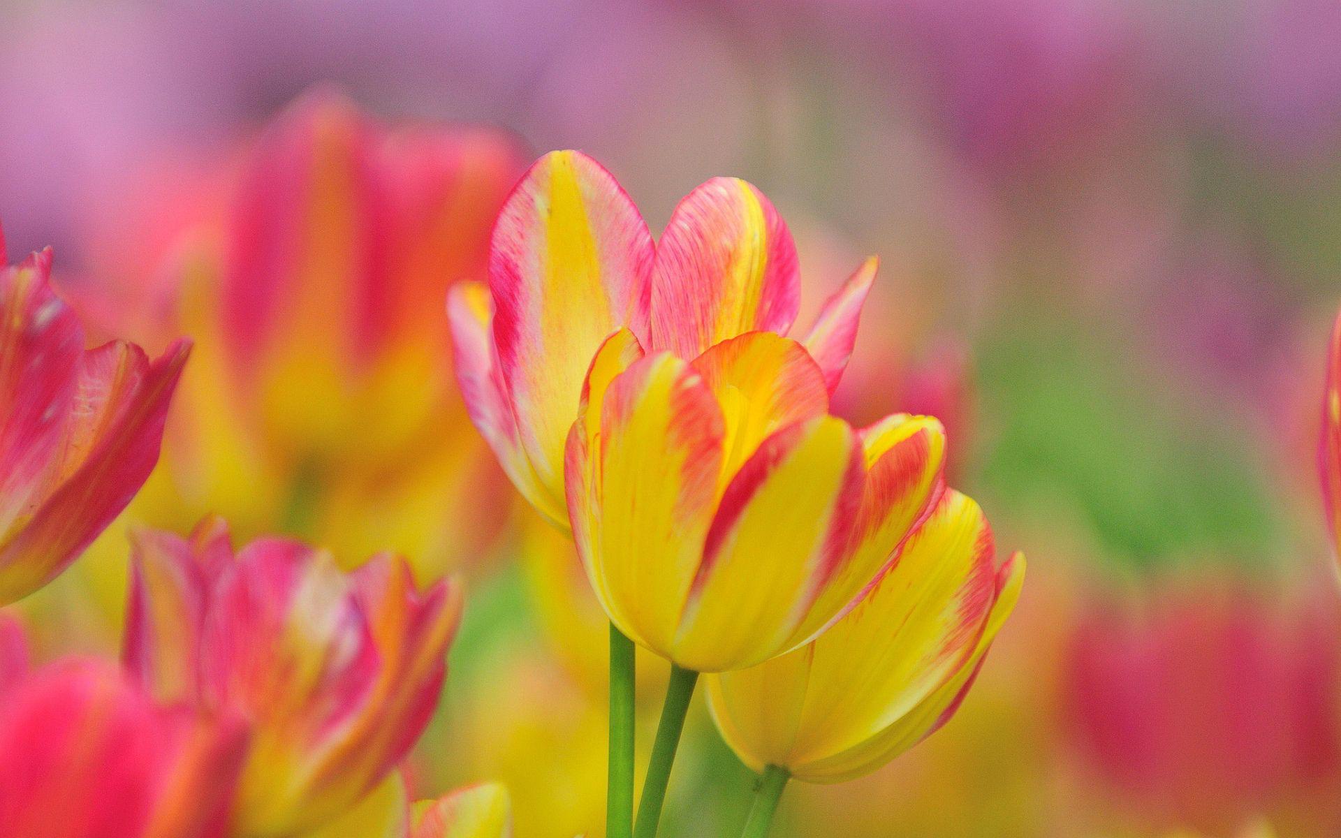 Pink Tulips wallpaper. Pink tulips