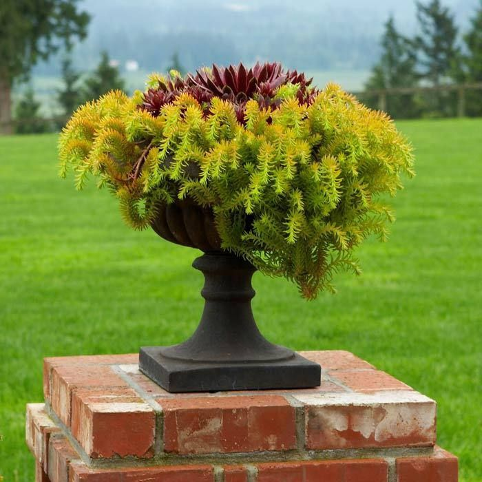 Sedum angelina plant sun lover succulent great for for Garden pods to live in