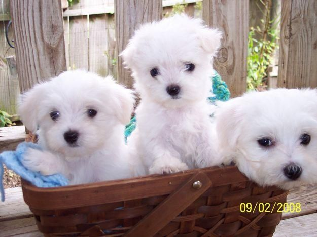 They Are Soooo Precious 3 Maltese Puppy Maltese Puppies For Sale Teacup Puppies Maltese