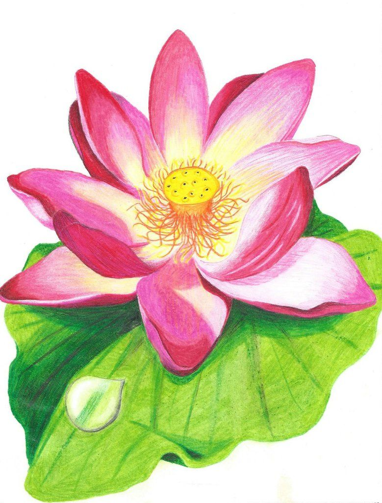 Lotus Flower With Colored Pencil Drawing