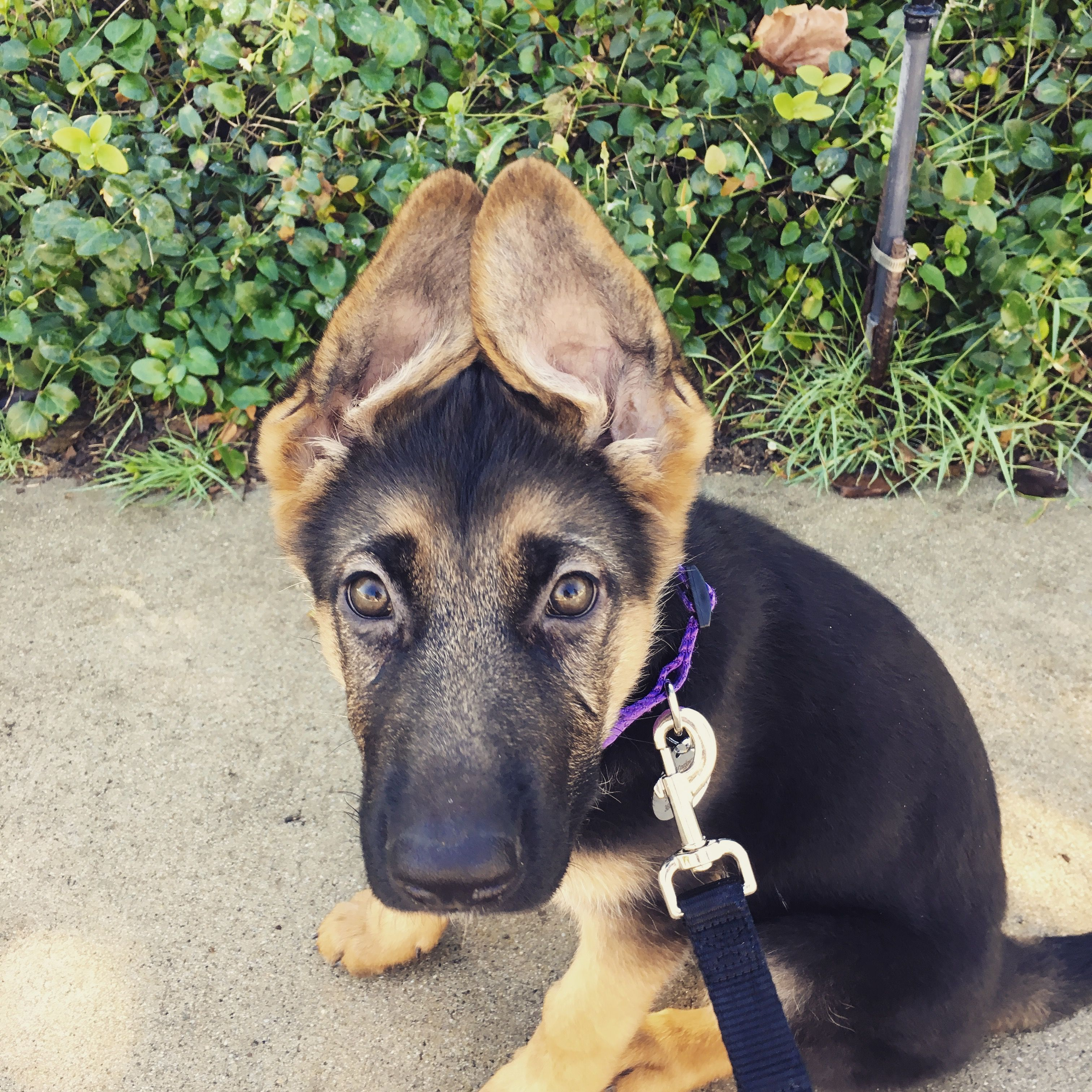 Those Ears German Shepherd Puppy 12 Weeks Old With Images