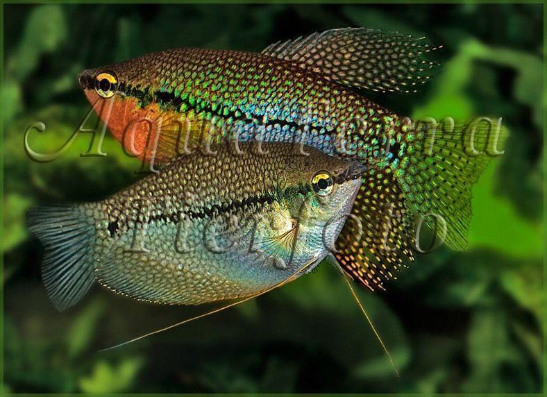 Tolles Parchen Mosaikfadenfische In Hamburg Bergedorf Ebay Kleinanzeigen Fische Aquarium Zubehor Aquarium Fische