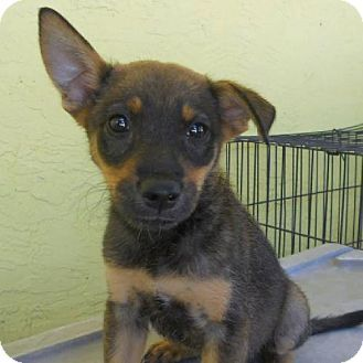 Denver Co German Shepherd Dog Mix Meet Hera A Puppy For