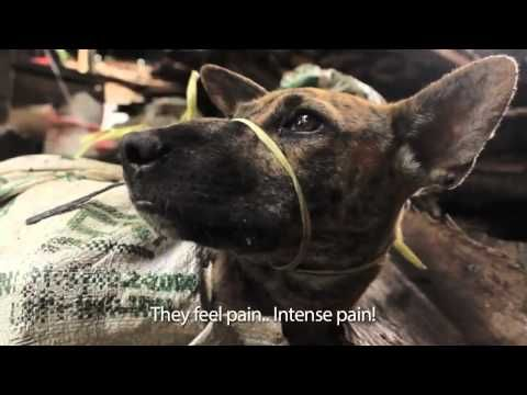 Indonesia Capturing Of Stray Stolen Dogs For Dog Meat Even