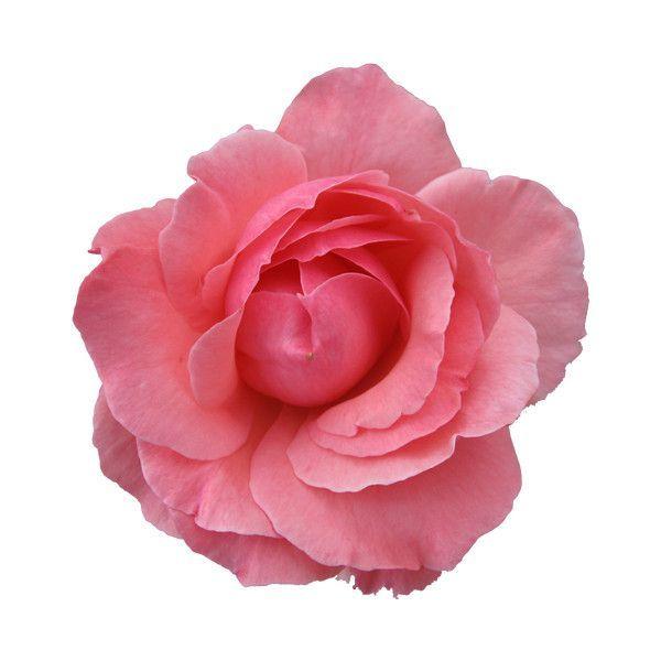 Light Pink Background Flores Estampas