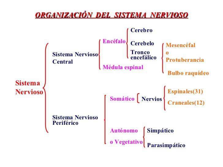 Mapa Conceptual Del Sistema Nervioso Central Y Periferico Cuadros Sinopticos Cuadro Co Sistema Nervioso Sistema Nervioso Central Sistema Nervioso Periferico