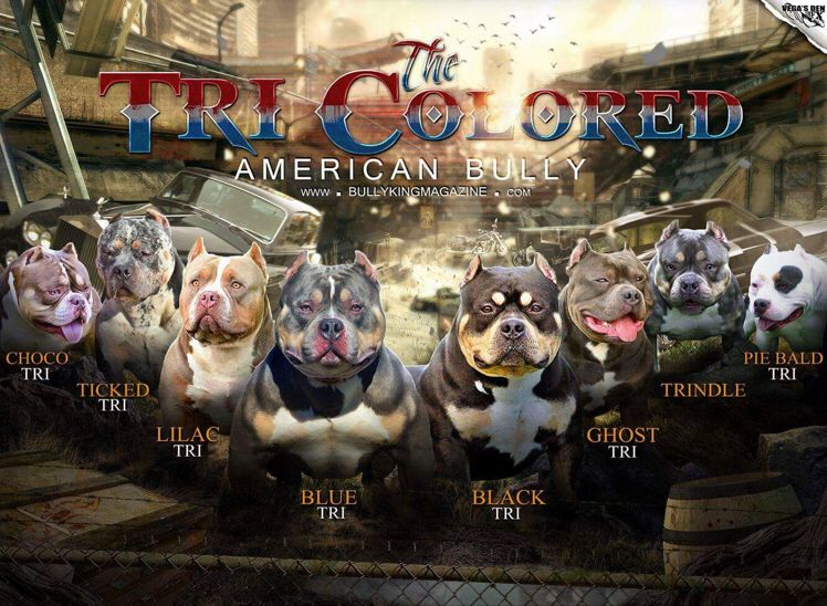 The Many Colors Of The American Bully Tri Color Variations The Many Colors Of The American Bully American Bully Full Color Chart Tri Colore Honden
