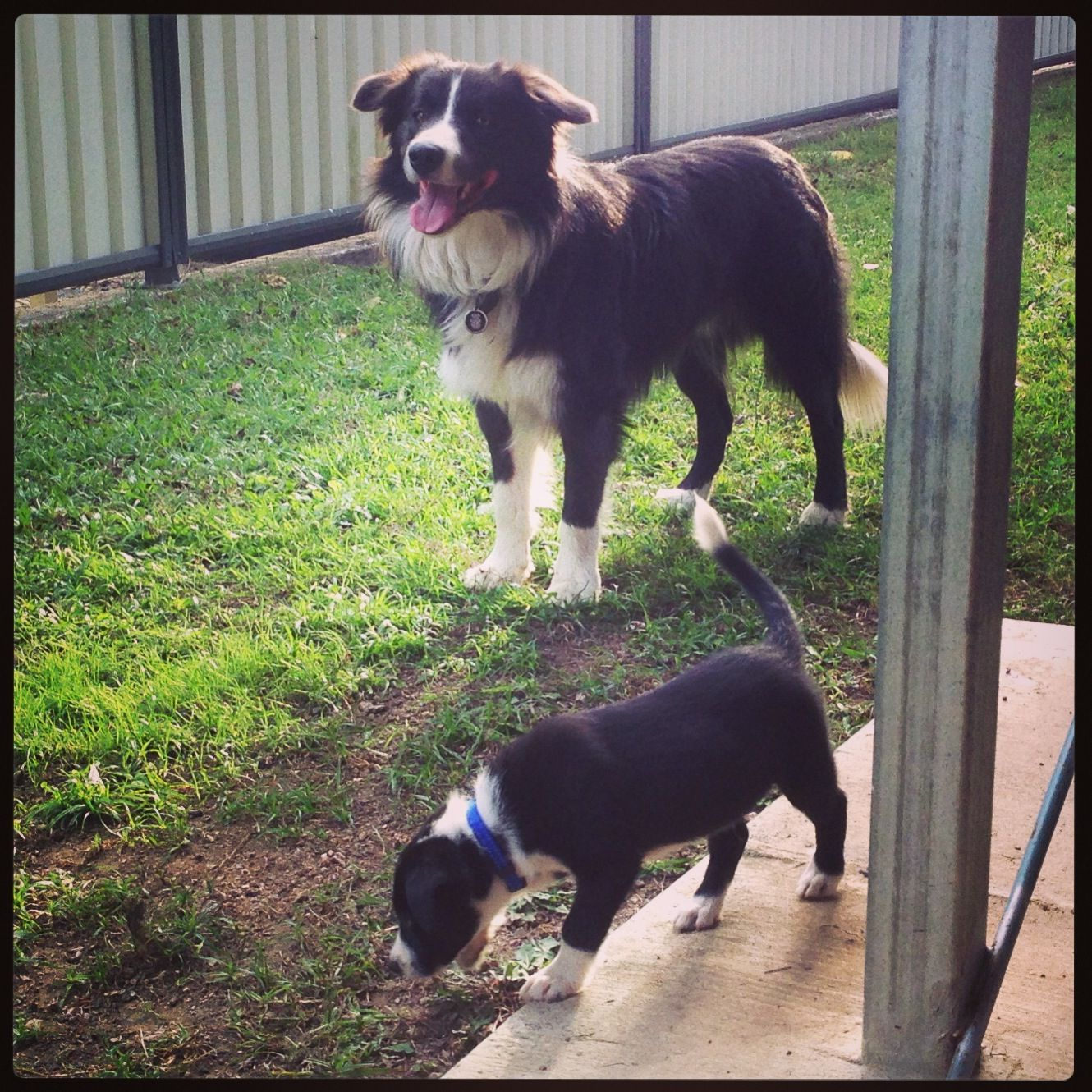 Shadow The Border Collie 8 Weeks Panda 18 Months Look At The