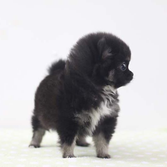 New Baby Teacup Pups This Teacup Blacktan Pom Is Now