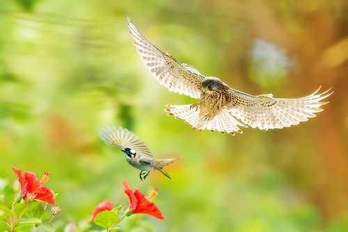 Common Kestrel ~ 紅隼 ~   檔名File name: 紅隼﹝BIRD06884﹞ 英文名稱Engli…   Flickr