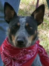 Adopt Gertie on | Australian Cattle Dog Rescue of Illinois