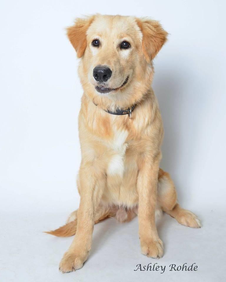 Adopt weston on dogs golden retriever retriever dog