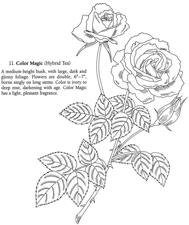 nature :: tea rose image by tharens - Photobucket | Coloring pages ...