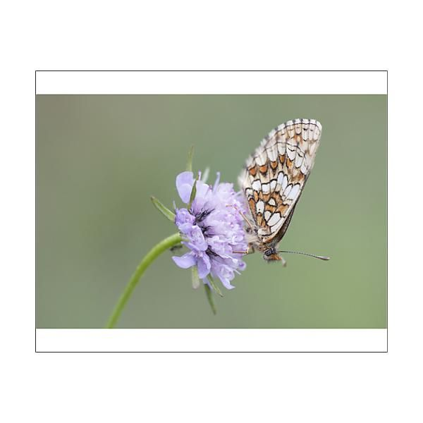 18+ 25cm Photo. Heath Fritillary  Melitaea athalia , butterfly