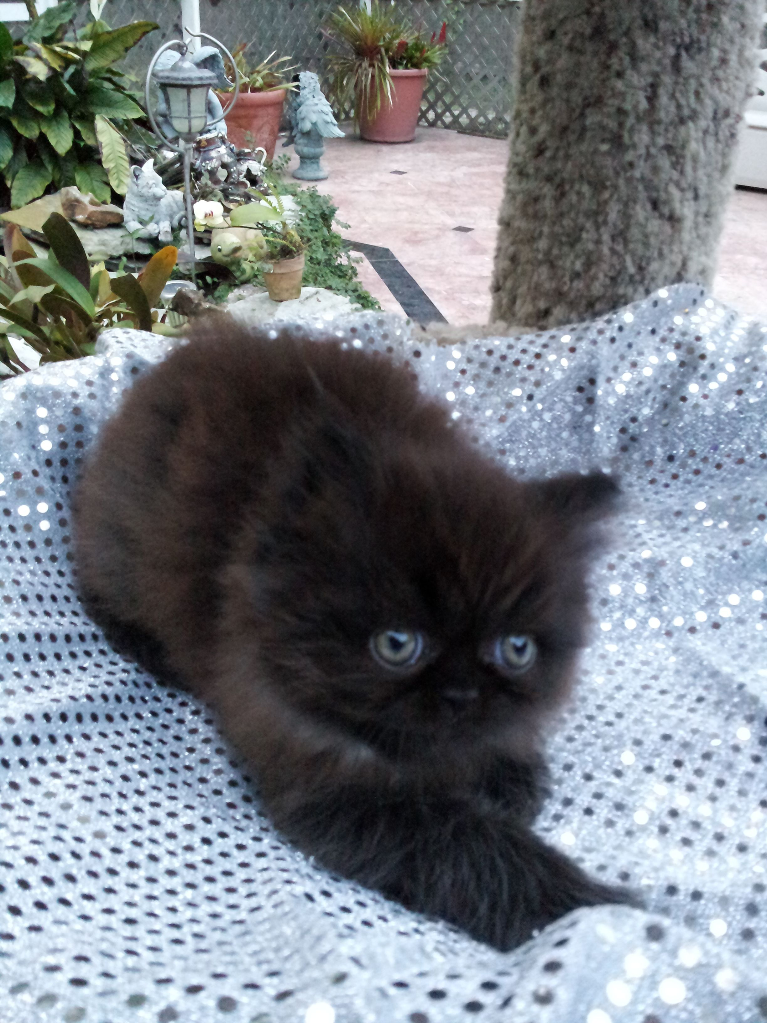 Solid Black Persian Kitten Persian Kittens Crazy Cats Kitten Pictures