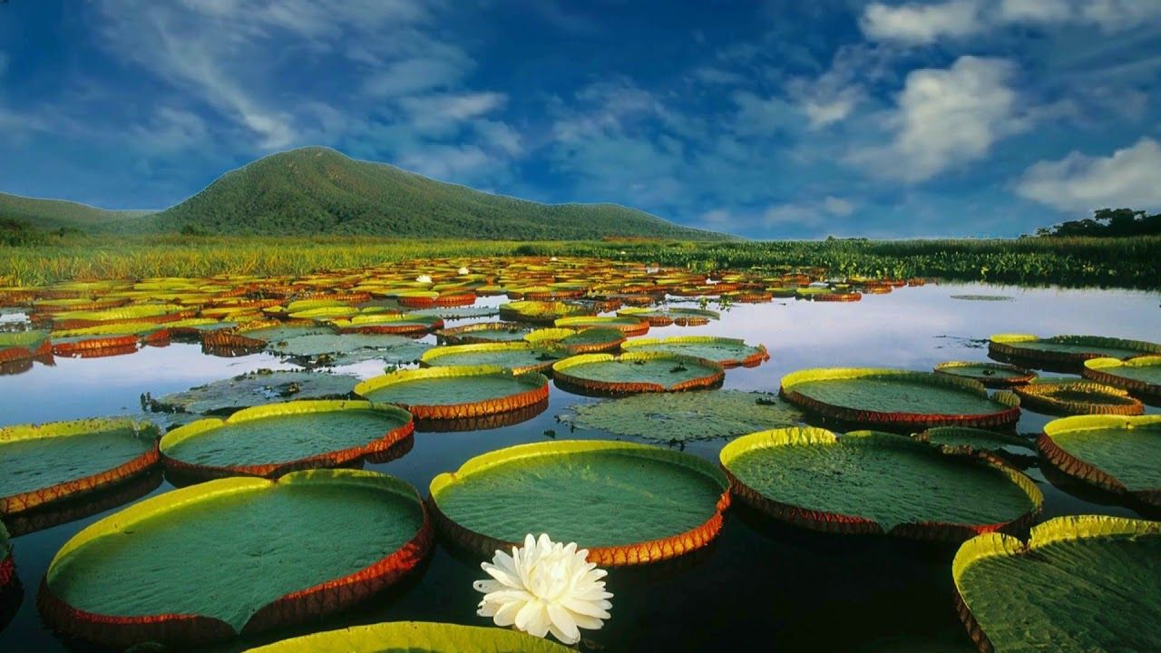 HD 1080p Nature Lotus with Pond Scenery Video, Royalty free