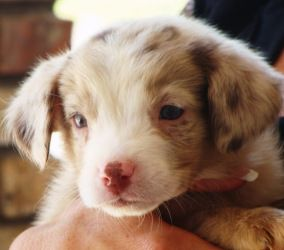 Kara is an adoptable Australian Shepherd Dog in Mckinney, TX. Kara is a gorgeous merle australian shepherd pup. She is a little over 9 weeks old and is absolutely ADORABLE! Please go to our website at...
