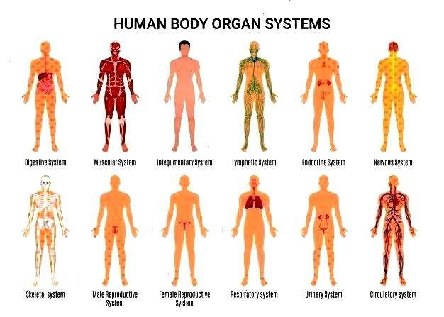 systems character poste... | Free VectorHuman body organ systems character poste... | Free Vector