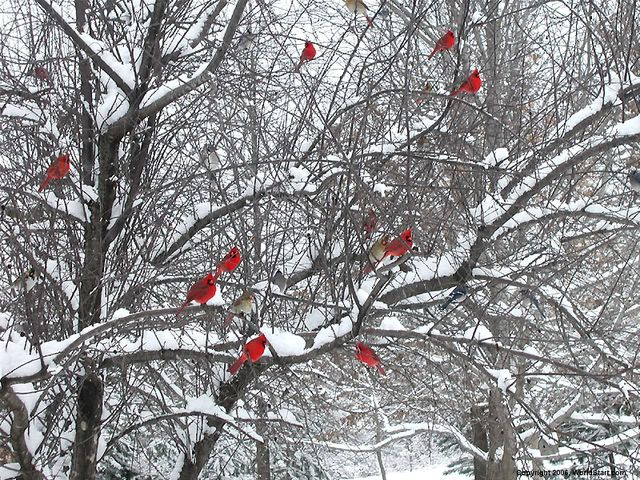 Beautiful cardinals in snow covered tree <3 reminds of Christmas time at my  grandparents when I was little. | Snowy trees, Red birds, Beautiful birds