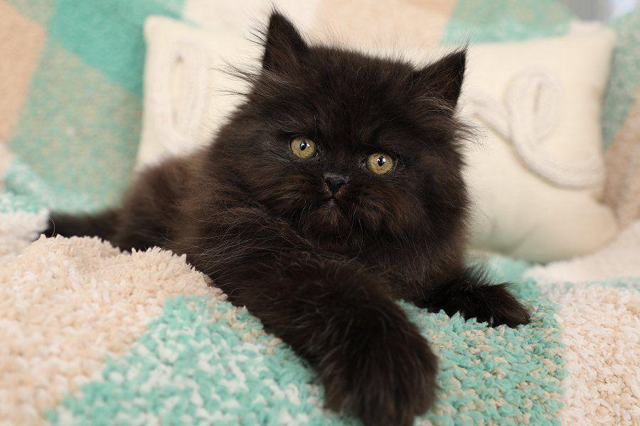 Persian Kittens For Sale Little Black Bear Persian Kittens