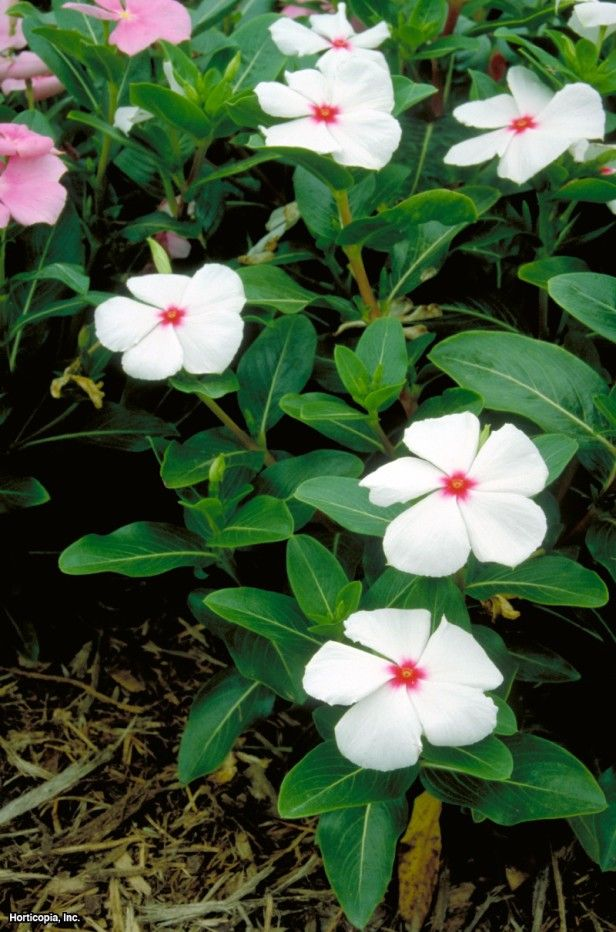 Annual Vinca Madagascar Periwinkle Our Favorite Flowers