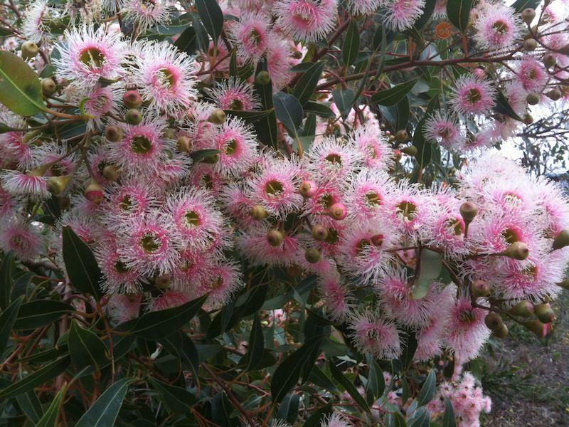 Pink flowering gum australian native plants pinterest plants pink flowering gum mightylinksfo
