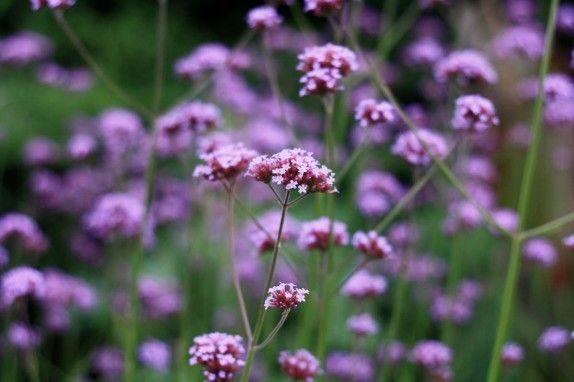 Verbena bonariensis late flowering perennial purple flowers late summer flowers for your garden growing nicely mightylinksfo Choice Image