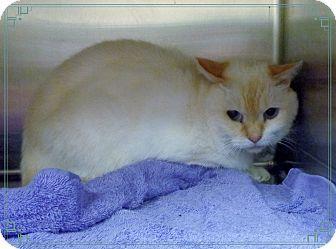 Urgent Siamese Cat For Adoption In Marietta Georgia Lilly Is A