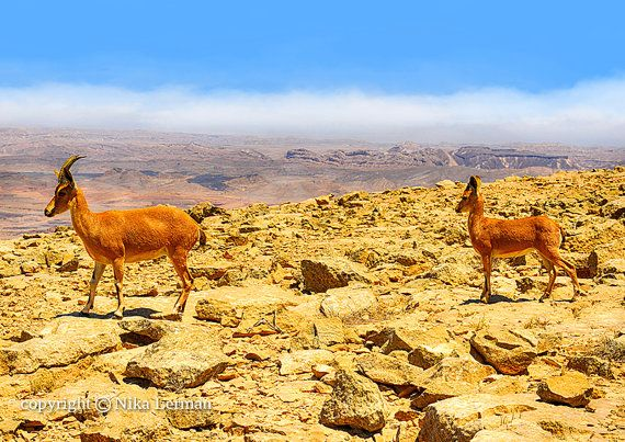 Ibex-Mother and Young Ibex on Rocky Mountains by NikaLerman