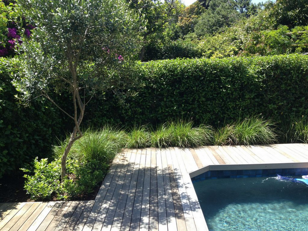 Decking Surrounding A Pool Modern Grasses Hedge With A Wild Olive Trees Our Gardens