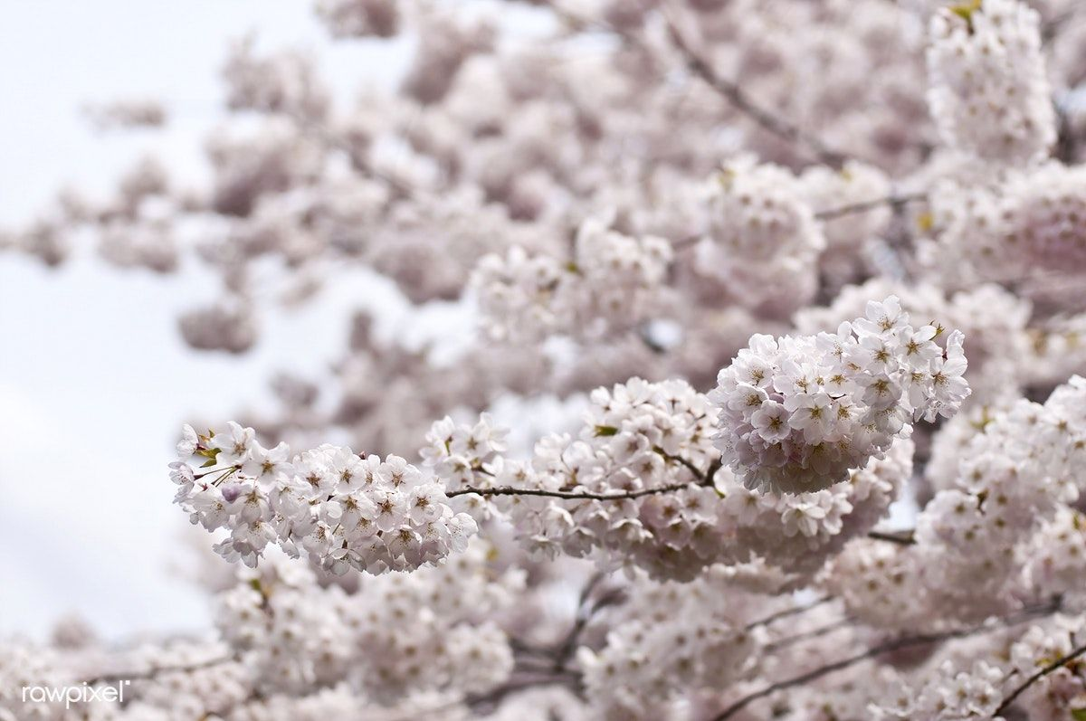 Tree In Bloom London Canada Free Image By Rawpixel Com Cherry Blossom Japan Spring Tree Cherry Blossom