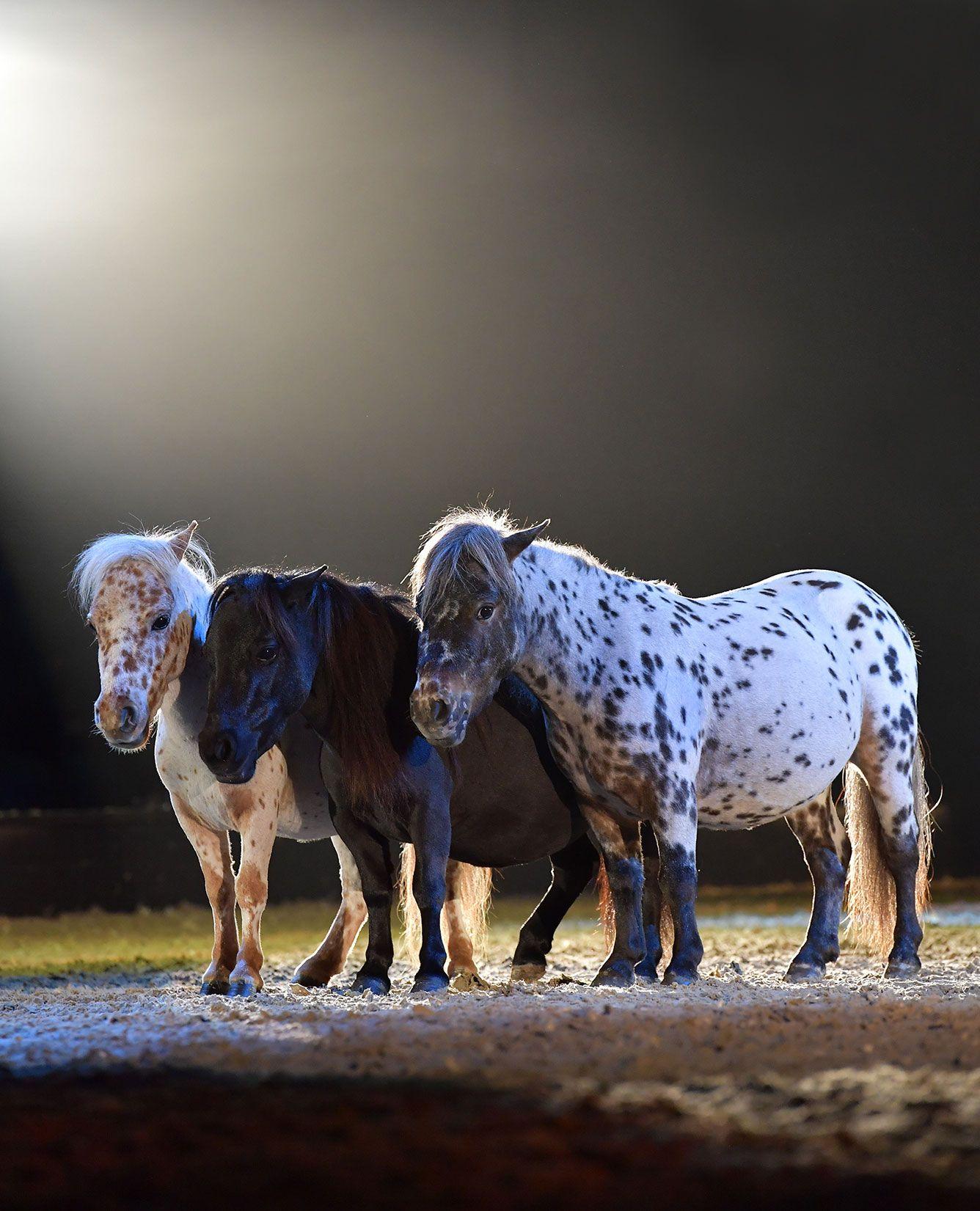 Drei Niedliche Mini Shettys Die In Der Neuen Apassionata Show Cinema Of Dreams In Der Freiheitsdressur Das Publi Eventing Horses Horses Barrel Racing Horses