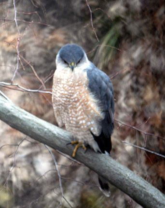 Ohio Bird Photo Collection Cooper S Hawk Ohio Birds Cooper S Hawk Bird Photo