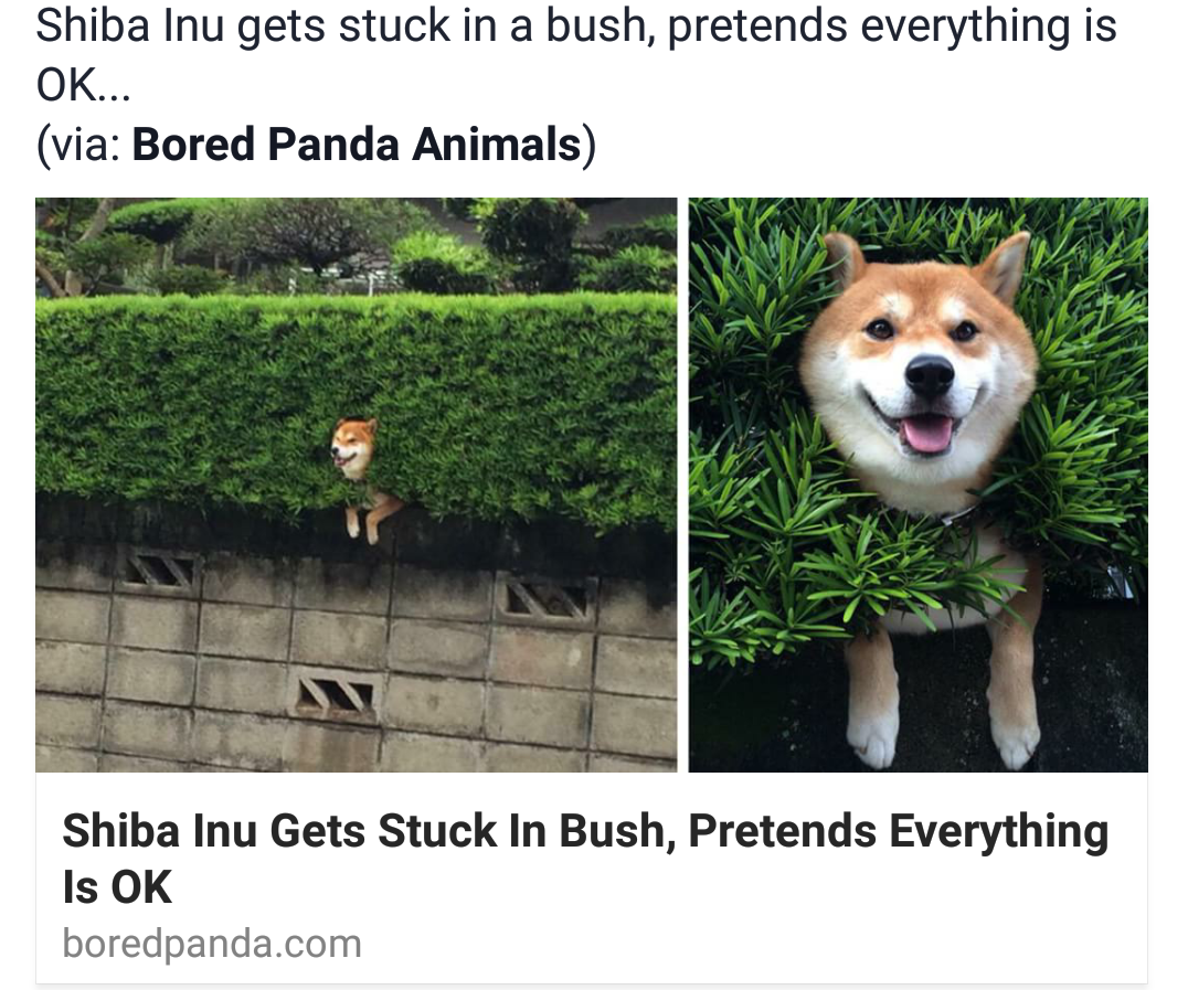 Bellsygirl Dan Without Phil More Like Happy Dogs Shiba Inu Dog Dog Pictures
