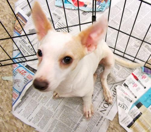 Adopt Marty On Toy Fox Terriers Dog Training Dogs