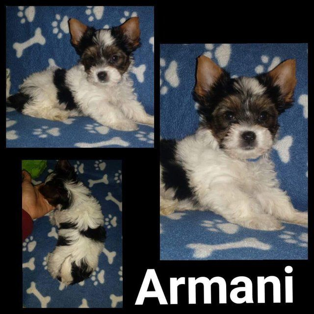 Male Biewier Yorkshire Terrier For Sale Ready Now Armani For