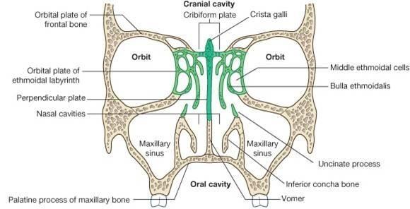 ethmoid bone | ethmoid bone forms majority of roof of ...