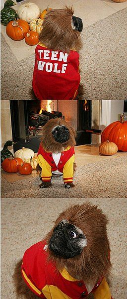 Pin By Mae B Demented On Maminals Pug Halloween Costumes